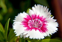 Wild carnation flower dianthus sp von Sami Sarkis Photography