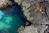 Pool of transparent waters and volcanic rocks with Sally Lightfoot Crabs (Grapsus grapsus) at Punta Vincente Roca von Sami Sarkis Photography