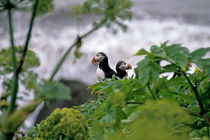 Couple of puffins perched on a rock by Sami Sarkis Photography