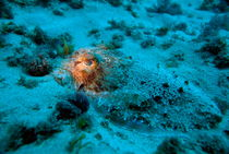 Illuminated eye of a Common Cuttlefish (Sepia officinalis) hiding on sandy ocean floor von Sami Sarkis Photography