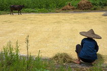 Old woman checking harvested rice drying on the ground von Sami Sarkis Photography