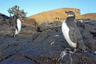 Two-galapagos-penguins-rm-glp-uwd5112