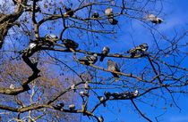 Pigeons perching in a tree together. by Sami Sarkis Photography