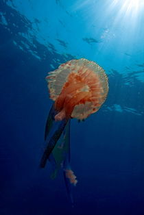 Patterned Luminescent Jellyfish (Pelagia noctiluca) swimming through blue waters by Sami Sarkis Photography