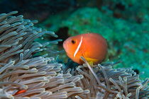 Blackfoot Anemonefish (Amphiprion nigripes) hosted in a magnificent sea anemone von Sami Sarkis Photography