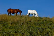 Brown and white horse grazing together in a grassy field. by Sami Sarkis Photography