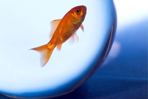 Rf-confined-fishbowl-goldfish-pet-swimming-ani063