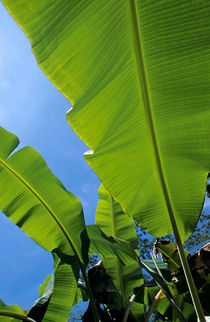 Bright green leaves of banana trees. by Sami Sarkis Photography