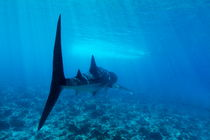 Rf-reef-sea-underwater-whale-shark-uwmld0092