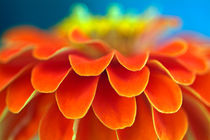 Orange common zinnia (zinnia elegans) in garden. by Sami Sarkis Photography
