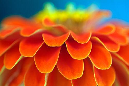 Rf-beauty-bright-flower-petals-vibrant-zinnia-var1104