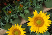 Sunflowers and red peppers on display for sale at a city florist by Sami Sarkis Photography