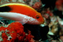 Forster Hawkfish (Paracirrhites forsteri) swimming around rocks by Sami Sarkis Photography