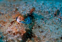 Eye of a common cuttlefish (sepia officinalis) von Sami Sarkis Photography