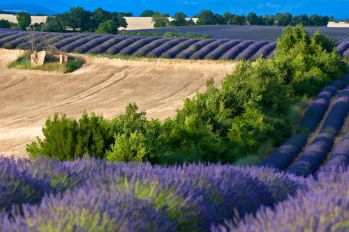 Rm-agriculture-france-lavender-wheat-crop-lds334