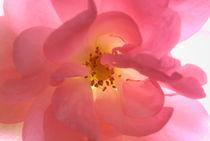 Close-up of pink rose von Sami Sarkis Photography