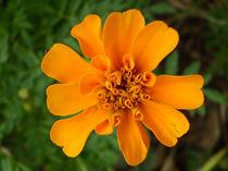 Orange beauty 2 by Florentina Necunoscutu de Carvalho