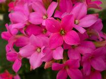 Pink beauty by Florentina Necunoscutu de Carvalho