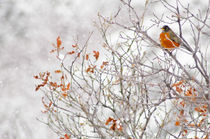 Winter Robin by Barbara Magnuson & Larry Kimball