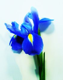 Iris by sharon lisa clarke