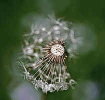 Dandelion Clock by Graham Prentice
