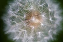 Dandelion Clock von Graham Prentice