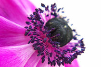 Lila Anemone by AD DESIGN Photo + PhotoArt
