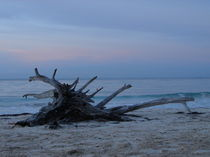 Tree-stump-on-trelawny-beach-03