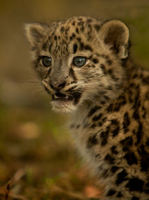 Snow Leopard Cub von Karl Thompson