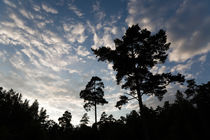 Silhouettes of pine trees against a summer night sky von kbhsphoto