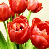 Red Tulips by sharon lisa clarke