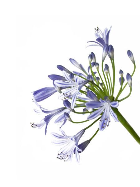 Agapanthus-dot-blau-dot-0944