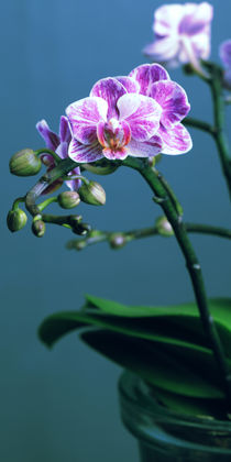 Orchidee by Falko Follert