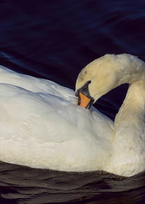 Mute Swan von Paul messenger