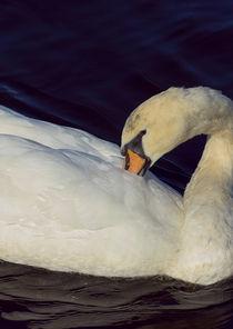 Mute Swan by Paul messenger