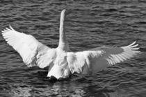 Swan in B&W by Paul messenger