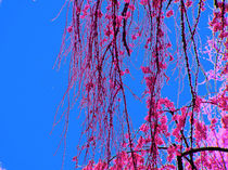 Weeping Cherry Blossoms 4 von Deborah Willard
