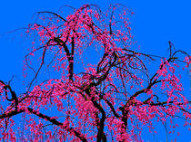 Weeping Cherry Blossoms 3 by Deborah Willard