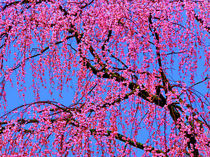 Weeping Cherry Blossoms 2 von Deborah Willard