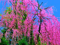 Weeping-cherry-blossoms-day-glo