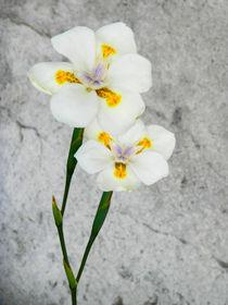 Flores blancas by Ricardo Anderson