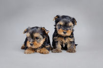 Two Yorkshire terrier dog puppies von Waldek Dabrowski
