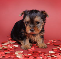 Yorkshire terrier Dog puppy portrait by Waldek Dabrowski