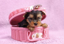 Yorkshire terrier dog puppy  by Waldek Dabrowski