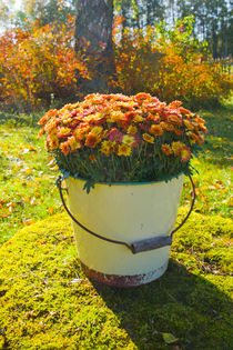 Chrysanthemums in an old bucket von kbhsphoto