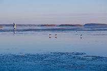 Mallards flying in the Archipelago of Stockholm, Sweden in winter by kbhsphoto