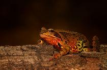 Frosch von photoart-hartmann