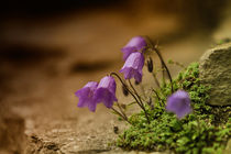 Glockenblume von photoart-hartmann