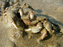 Undercover Crab by serenityphotography