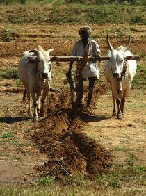 Oxen Plough Karnataka von serenityphotography
